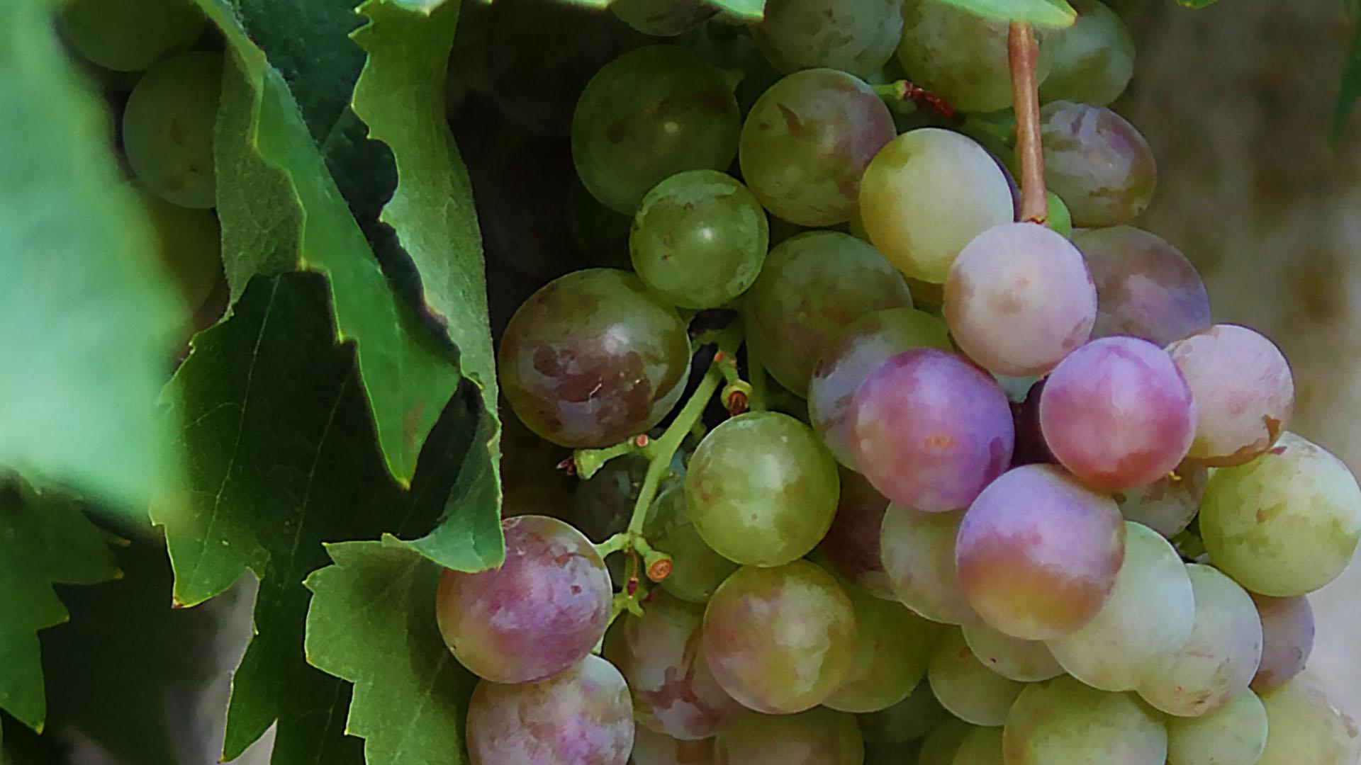 Reife Weintrauben weißer Rebsorte mit grünen Blättern. Detail.